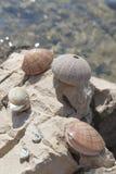 Sea shells and sea urchins, on the rock on sea coast Royalty Free Stock Photos