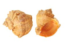 Sea shells set. Set of sea shells isolated in white background royalty free stock image