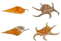 Sea shells set. Royalty Free Stock Photos
