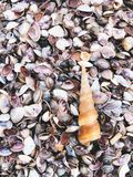 Sea shells and snail on the sand beach Royalty Free Stock Photo