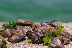 Barnacles and mussels on а rock royalty free stock images