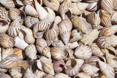 Sea shells Stock Photos