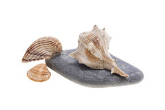 Sea shells on the stones Royalty Free Stock Photo