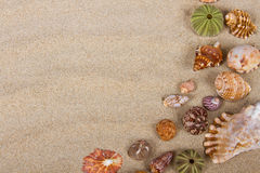 Sea shells in studio Royalty Free Stock Image