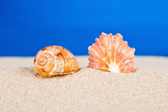 Sea shells in studio Royalty Free Stock Images