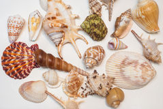 Sea shells. Texture of many sea shells Royalty Free Stock Photography