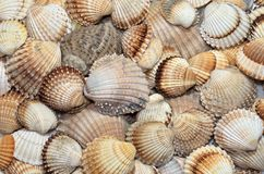 Sea shells textures Stock Photography