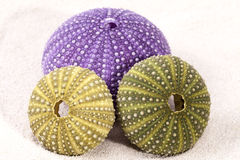Sea shells of violet and green sea urchin lying on the sand Stock Images
