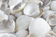 Sea shells on white Stock Photos