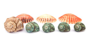 Sea shells on white background Royalty Free Stock Image
