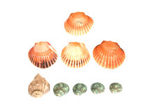 Sea shells on white background Stock Photos