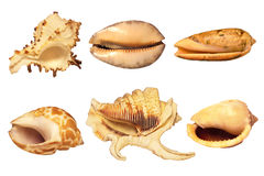 Sea shells on a white background Royalty Free Stock Image