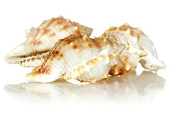 Sea shells on white background Royalty Free Stock Image