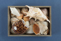 Sea shells in a wooden box on a blue Royalty Free Stock Image