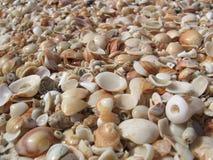 Sea Shore. Seashells  Lots of seashells on the sunny mediterranean beach Royalty Free Stock Image