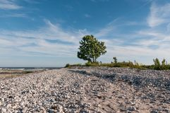 Stony sea shore in Gotland Sweden with tree in the center point. Sea shore in Gotland with tree, stones, middle summer in the far north, nostalgic landscape Royalty Free Stock Images