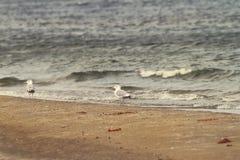 Sea shore and herring gulls Royalty Free Stock Photos