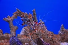 Sea Shrimp Stock Photography