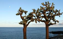 Sea Side Prickly Pear Cactus Royalty Free Stock Photos