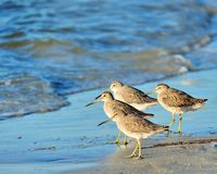 By the Sea Side. Short-Billed Dowitcher group standing by the sea Stock Images