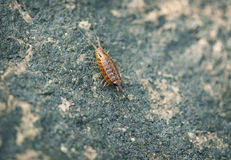 Sea slater (sea louse) on stone background Royalty Free Stock Photography