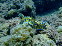A Sea Slug. A blue Sea Slug (mollusc) in the Red Sea Stock Photos