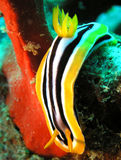 Sea Slug. Nemed Pijamas, Photo by Pawel Borowka, Red Sea Egypt royalty free stock photography