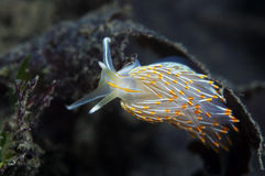 Sea Slug Royalty Free Stock Image