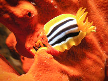 Sea Slug eating red sponge Stock Photo