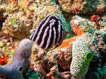 Sea slug hidden among corals Royalty Free Stock Photography