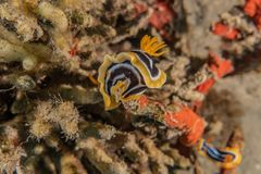 Sea slug in the Red Sea royalty free stock images