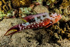 Sea slug in the Red Sea Colorful and beautiful royalty free stock photography
