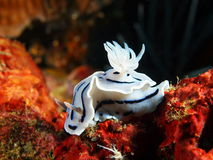 Sea slugs of the Philippine sea Stock Photography