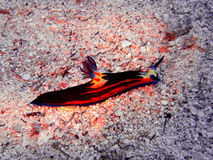 Sea slugs of the Red sea Stock Photo