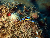 Sea slugs of the South-Chinese sea Stock Images