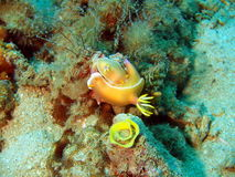 Sea slugs of the South-Chinese sea Royalty Free Stock Image