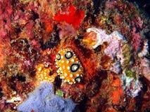 Sea slugs of the South-Chinese sea Stock Image