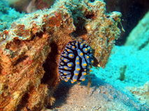 Sea slugs of the South-Chinese sea Royalty Free Stock Photography