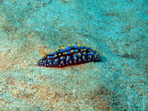 Sea slugs of the South-Chinese sea Royalty Free Stock Photos