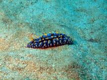 Sea slugs of the South-Chinese sea Royalty Free Stock Photos
