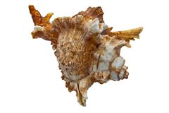 Sea Snail. Isolated item from tropical beach Stock Photography
