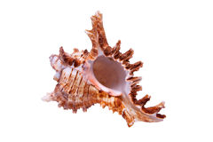 Sea Snail. From tropical beach isolated item Stock Photo