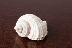 Sea snail. On wooden table Stock Photos