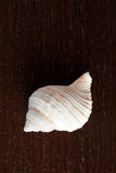 Sea snail. On wooden table Royalty Free Stock Images