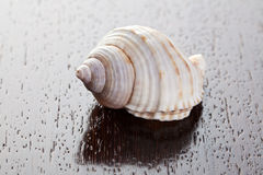 Sea snail. On wooden table Royalty Free Stock Photography