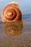 Sea Snail. On reflective sand at low tide Royalty Free Stock Images
