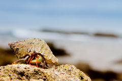 Sea snail on the beach. Sea snail on top of rock with ocean on the back Royalty Free Stock Photo