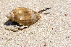 Sea snail on beach. A sea snail in a shell on a sandy beach Stock Images