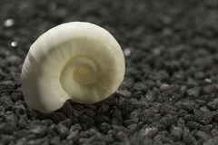 Sea snail on black granite pebble Stock Image