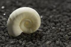 Sea snail on black granite pebble Stock Image